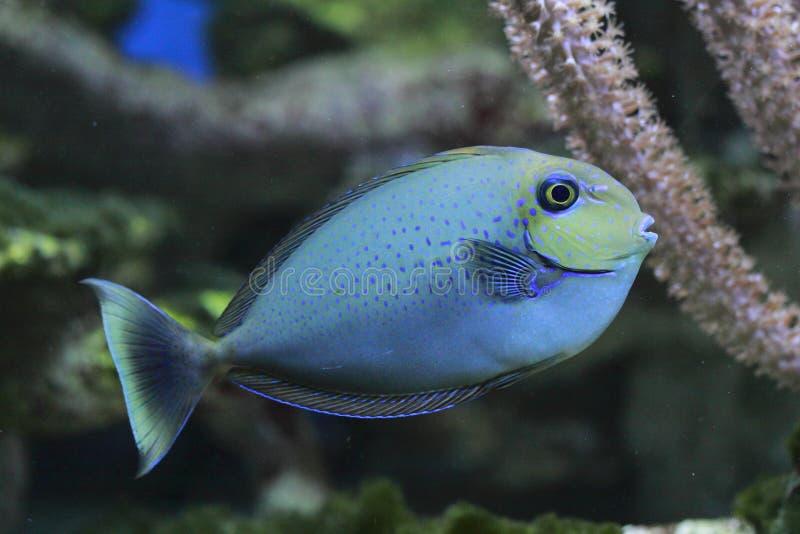 Unicornfish de Bignose photographie stock