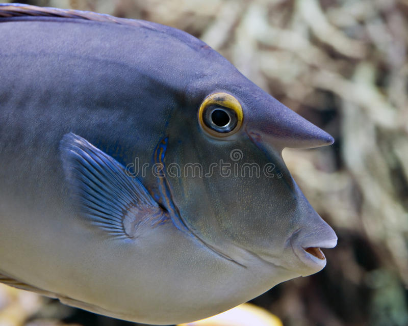 Unicornfish de Bluespine photo libre de droits