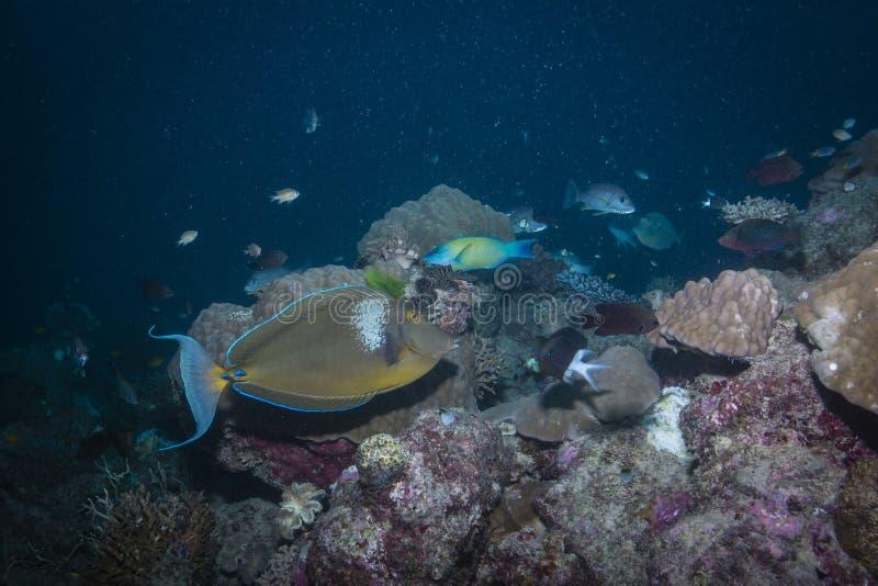 Unicornfish de Bluespine images stock