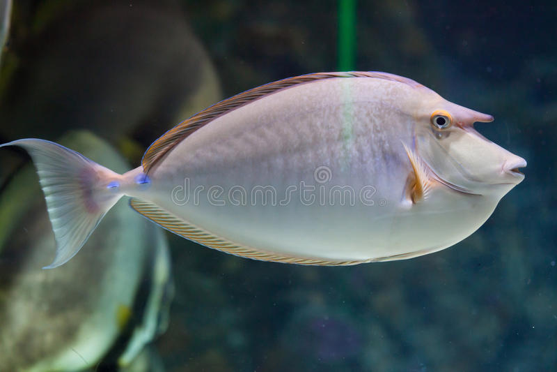 Unicornfish de Bluespine (unicornis de naso) photo libre de droits