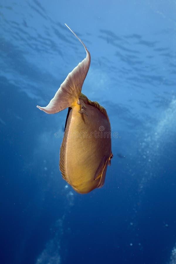Unicornfish de Bluespine (unicornis do naso) fotografia de stock royalty free