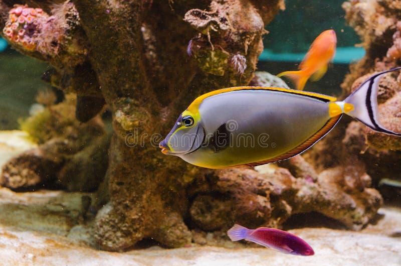 Unicornfish elegante fotos de archivo
