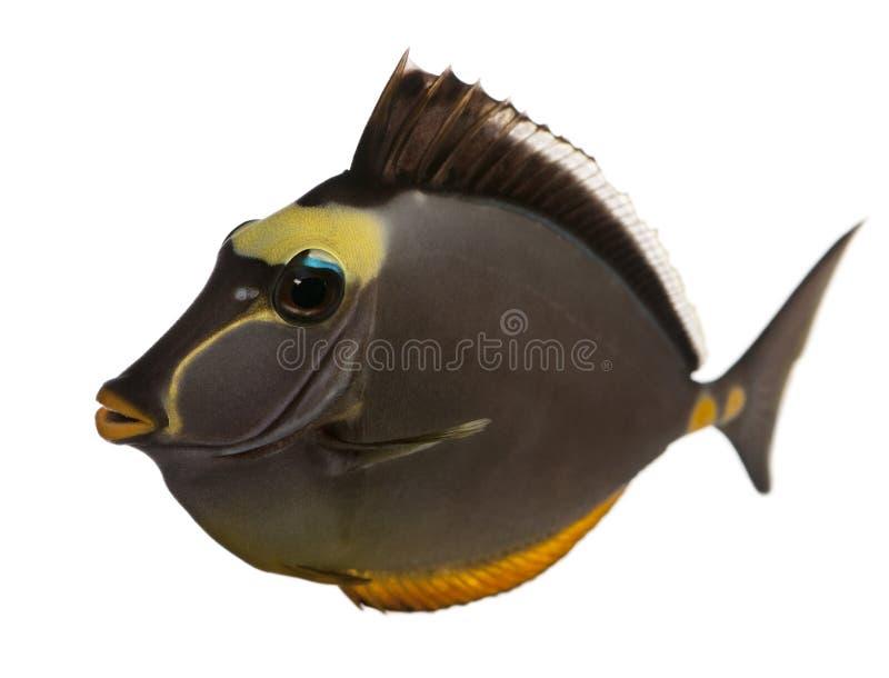 unicornfish för lituratusnasoorangespine royaltyfria foton