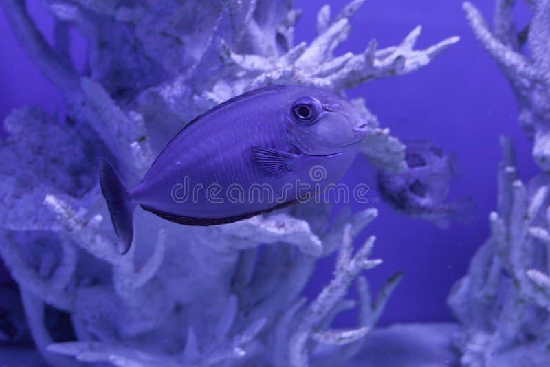 Unicornfish, naso brevirostris. Among the beautiful corals stock photos
