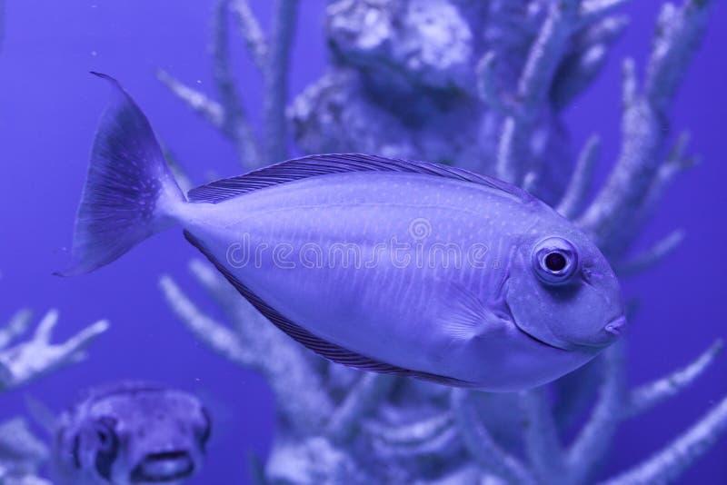 Unicornfish, naso brevirostris close up. Unicornfish, naso brevirostris swims undersea close up royalty free stock photos