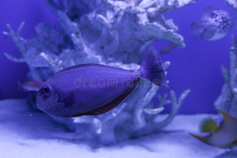 Unicornfish, naso brevirostris close up. Unicornfish, naso brevirostris swims undersea close up stock photography