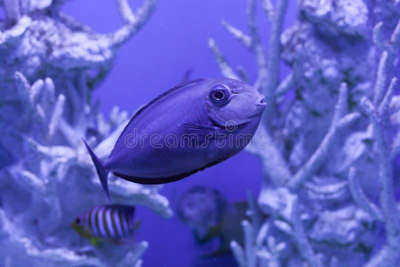 Unicornfish, naso brevirostris close up. Naso brevirostris, unicornfish undersea, underwater close up royalty free stock photography