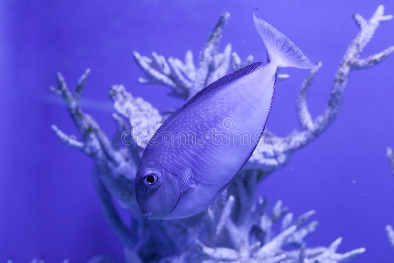 Unicornfish, naso brevirostris floats down. Among corals royalty free stock images