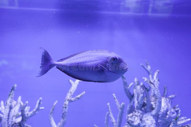 Unicornfish, naso brevirostris. Swims undersea close up royalty free stock image