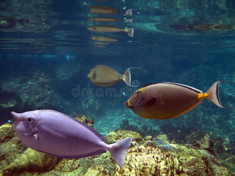 Unicornfishes στοκ φωτογραφία