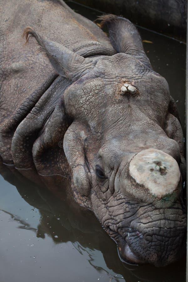 Download Unicornis носорога индийского носорога Стоковое Изображение - изображение насчитывающей одичало, рожочок: 81810353