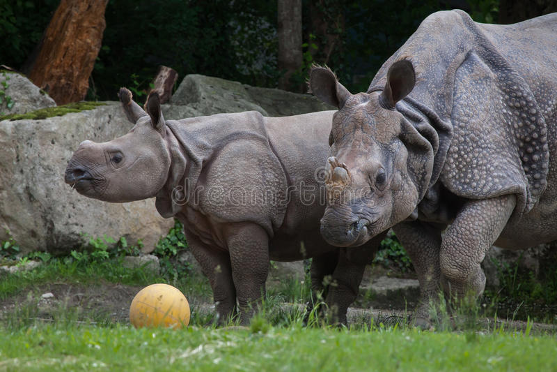 Download Unicornis носорога индийского носорога Стоковое Фото - изображение насчитывающей млекопитающие, newborn: 81810366