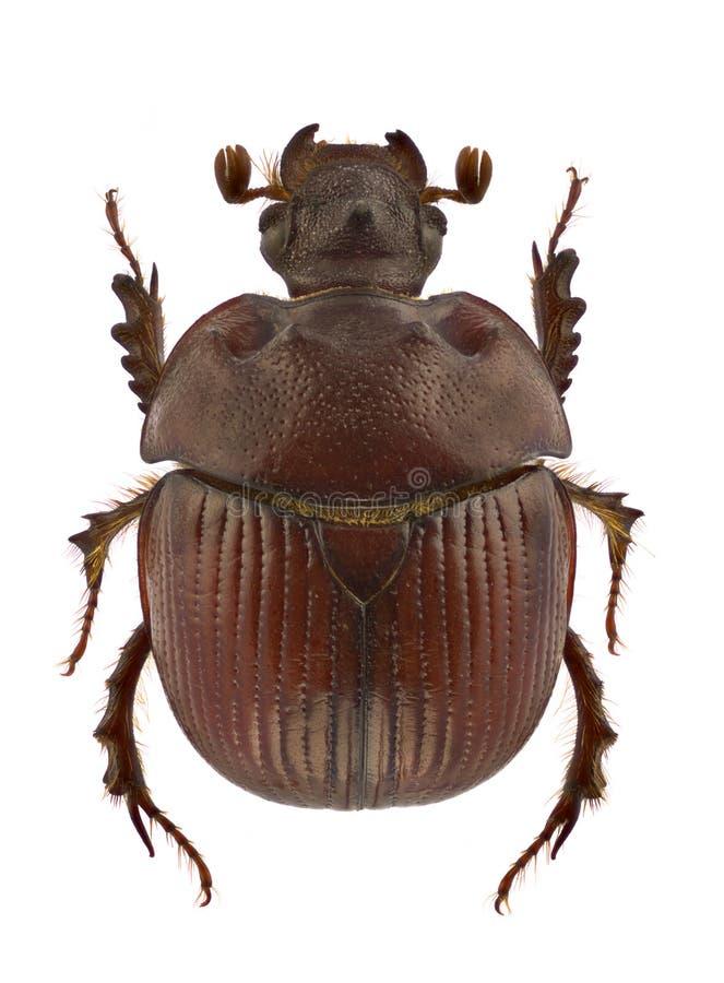 Unicornis van Bolbelasmus royalty-vrije stock foto