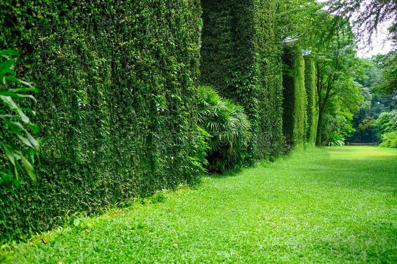 Ivy covered buildings. Unidentified buildings with thick luscious green ivy covered walls. Nature background, wallpaper concept stock image