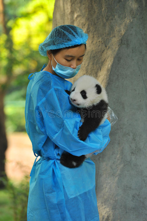 Unidentified caretaker inspects a 2-month-old pand royalty free stock photo
