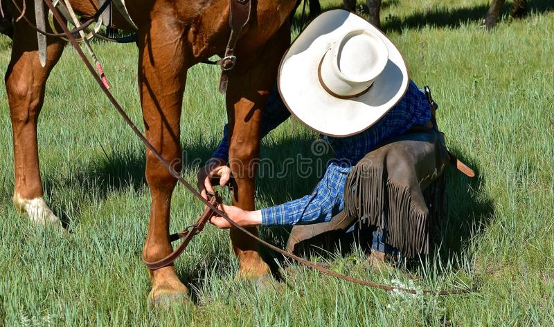Cowboy hobbles horse during a roundup and branding. An unidentified cowboy uses a leather strap to hobble his horse during a roundup and branding session in stock photography