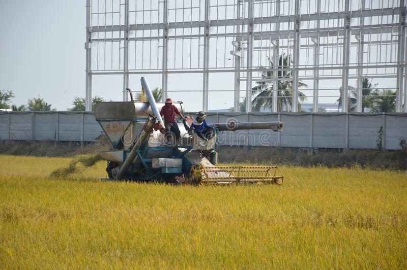 Unidentified farmer harvesting rice in paddy field with harvest car in Chachoengsao, Thailand. Close up Unidentified farmer harvesting rice in paddy field with stock photography