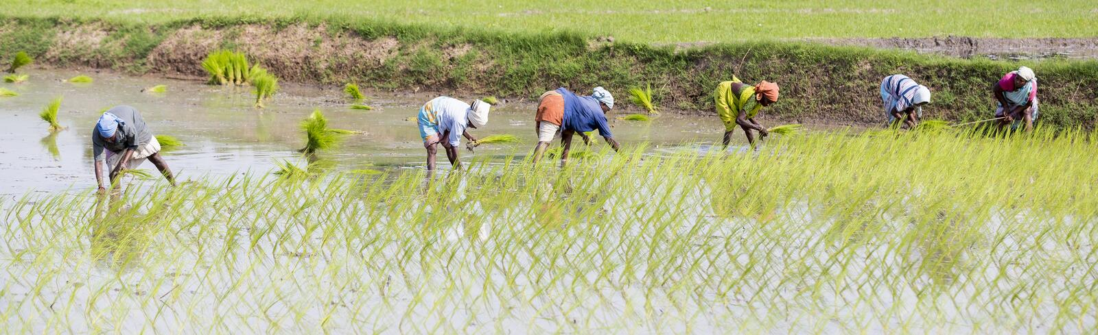 Unidentified group of women transplanted rice shoots they plant the new crop in the rice paddy stock images