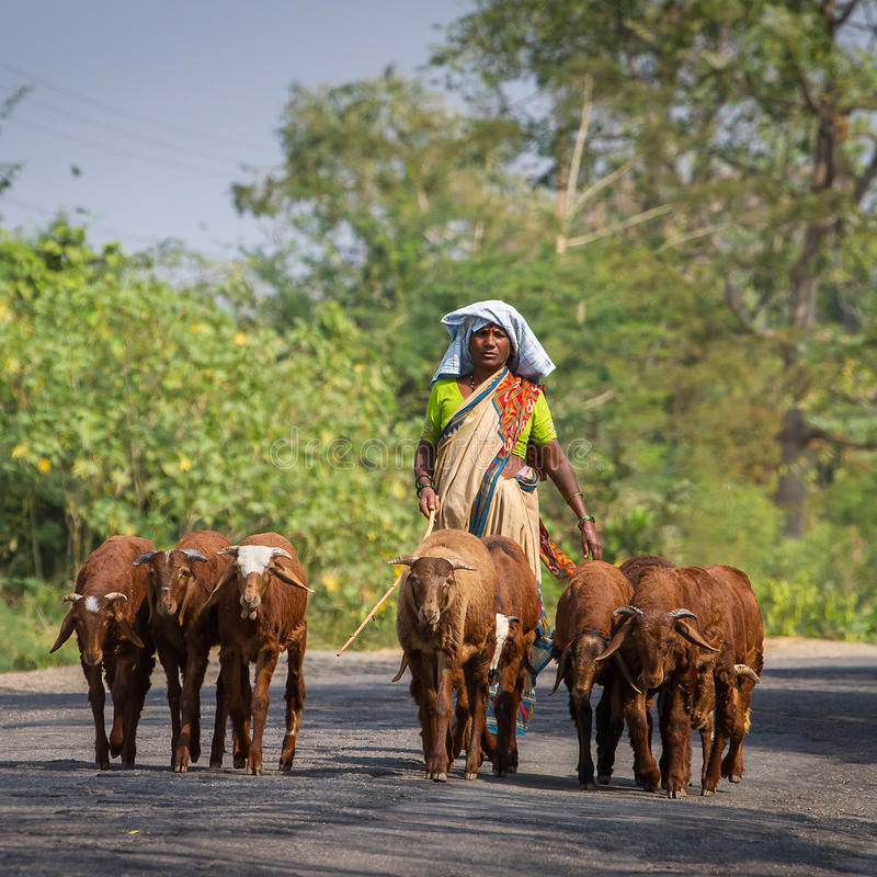 Unidentified Indian woman leads her goats stock photos