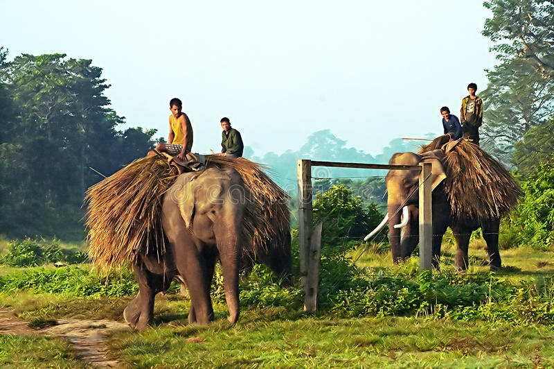 Unidentified local people are carrying hay on elephants royalty free stock images