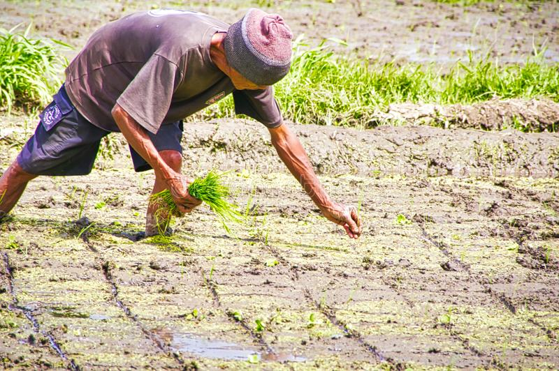 Unidentified man cultivating rice in Bali, Indonesia. Rice production in Indonesia is an important part of the his economy and the stock photography