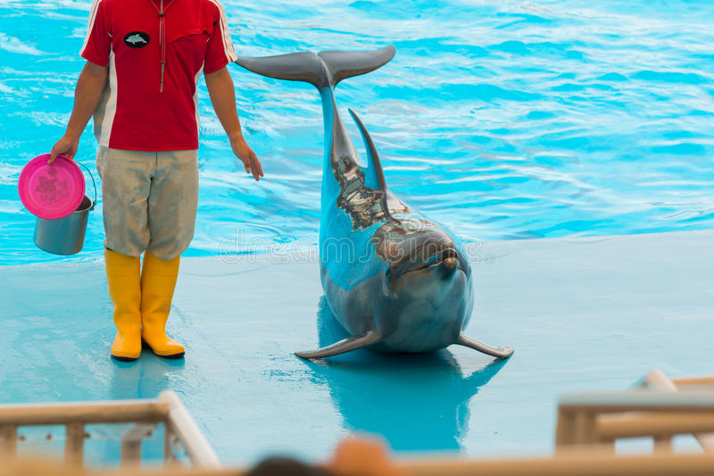 An unidentified man trainer is showing dolphins as they perform stock photography