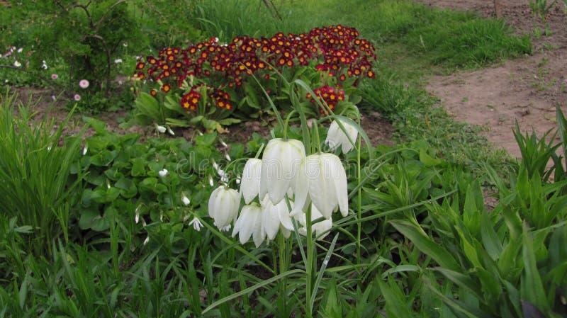 Unieke bruine bloemen, klokken stock afbeelding
