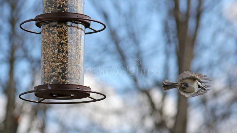 Unieke foto of een mooie kleurrijke vogel die van Carolina Chickadee zaden van een voeder van het vogelzaad eten tijdens de zomer