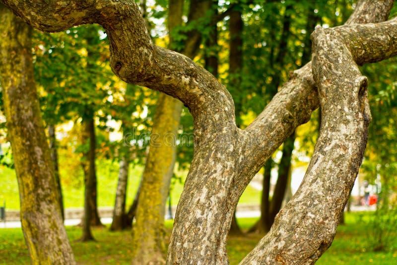 Unieke gebogen magische boom in park stock afbeeldingen