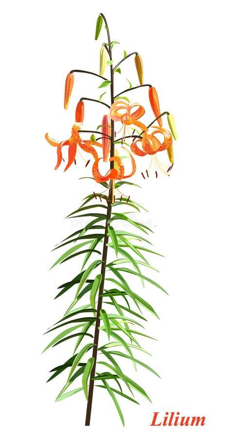 Unieke lilium