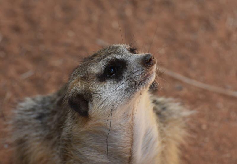 Unieke Meerkat die de Lucht voor Indringers snuiven royalty-vrije stock fotografie