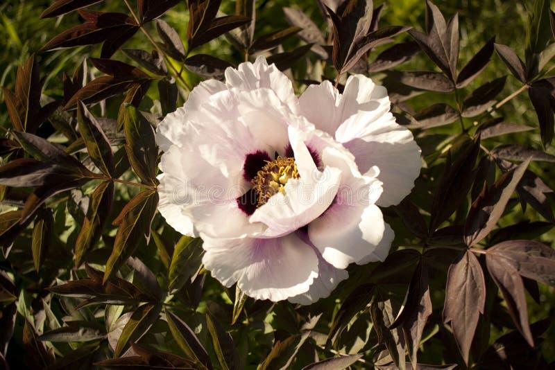 Unieke verse bloemen boomachtige witte pionen in het natuurlijke groeiende milieu, de aard van de oostelijke Oekraïne royalty-vrije stock foto's