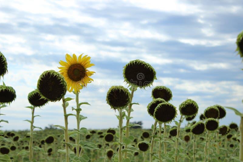Unieke zonnebloem stock foto's
