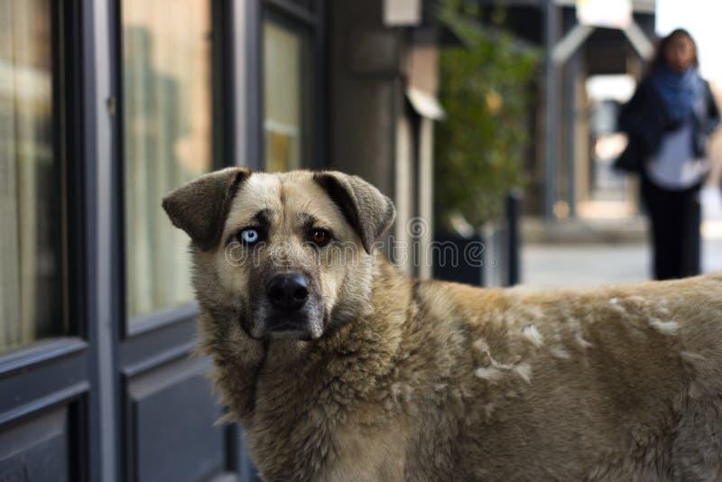 Unik tillfällig hund med olika kulöra ögon fotografering för bildbyråer