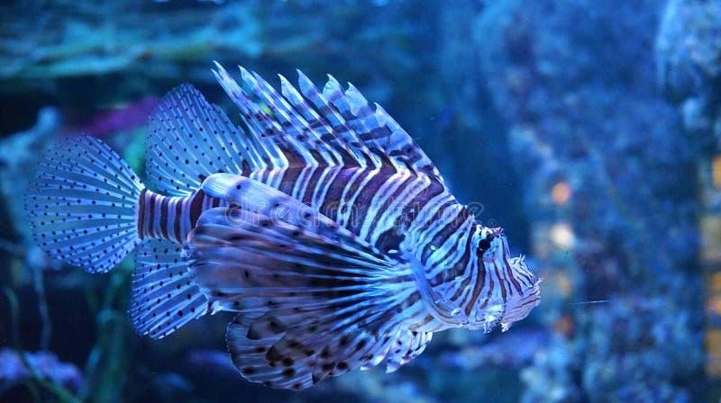 Unikalna Pasiasta ryba zdjęcia royalty free