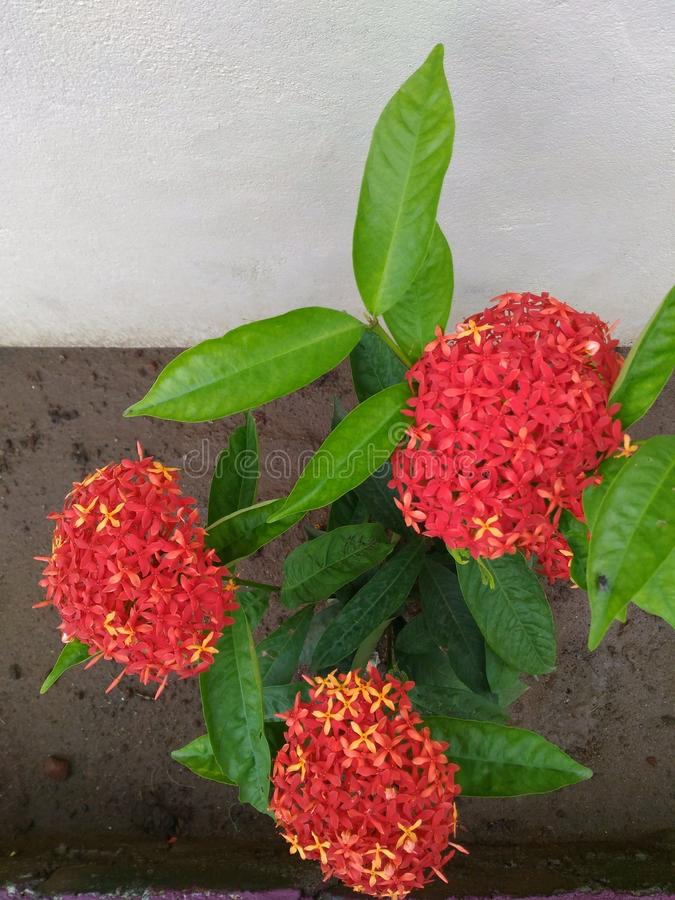 Unikalny i Specjalny Czerwony Ixora Kwitnie kwitnienie w ogródzie obraz royalty free