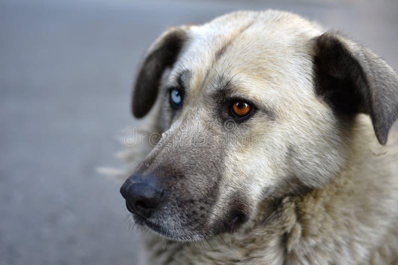 Unikalny Przybłąkany pies z Różnymi Barwionymi oczami obrazy royalty free