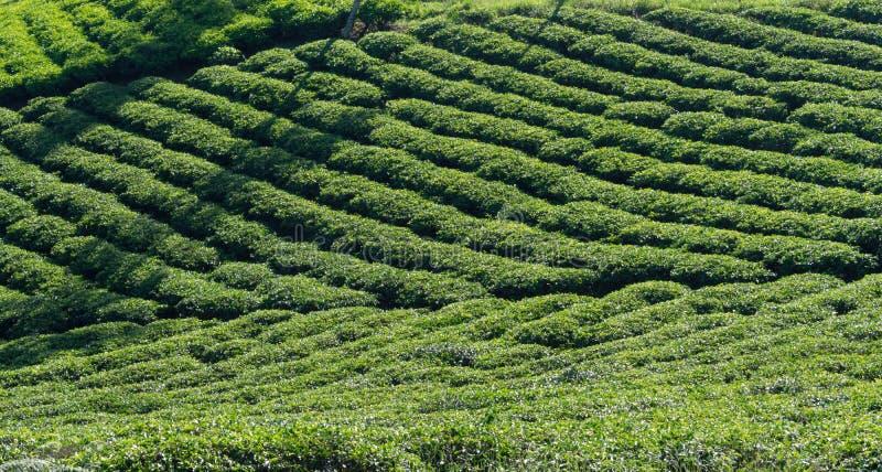 Unikalny tło z świeżą zieloną herbatą opuszcza, herbaciany wzgórze herbaciana produkci część 32 zdjęcia royalty free