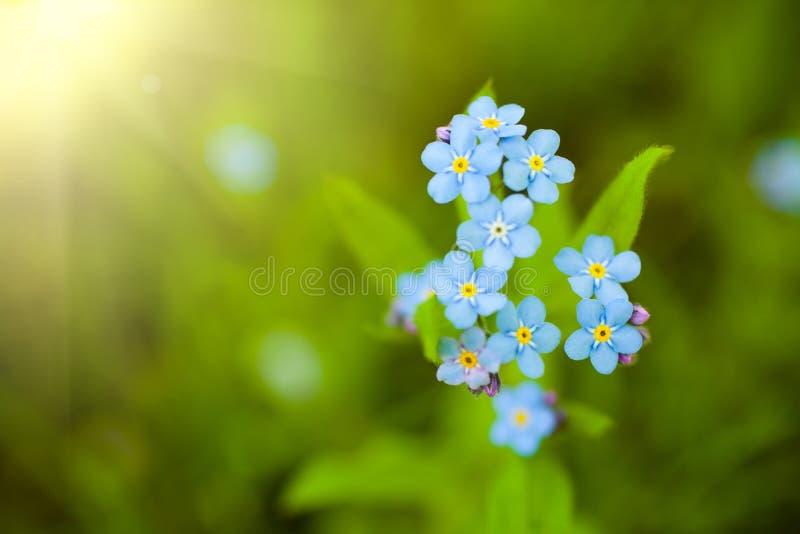 Unikalnych błękitnych niezapominajkowych kwiatów zamknięty up obrazy stock