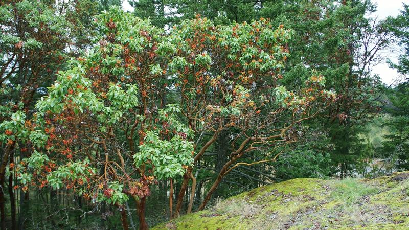 Unikt Candian träd royaltyfria foton