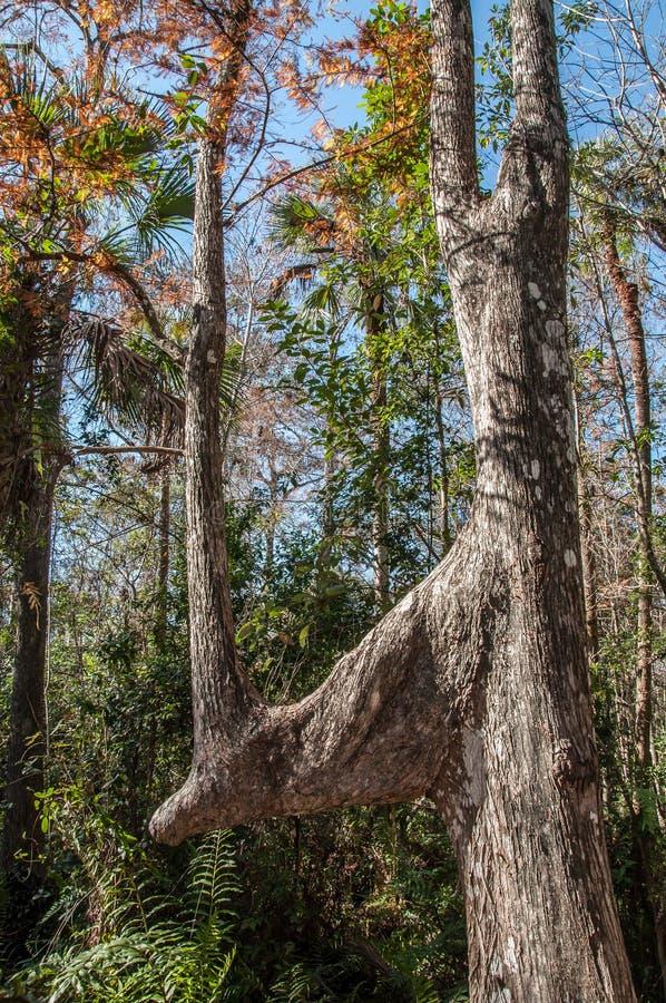Unikt träd på evergladesna arkivfoton