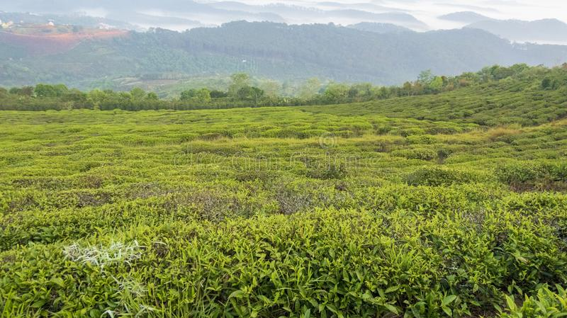 Unique background with fresh green tea leaves and tea hill part 14. Unique background with fresh green tea leaves and tea hill. Beautiful original photo used for stock image