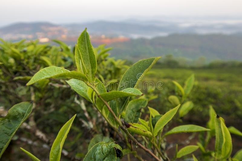 Unique background with fresh green tea leaves and tea hill part 3. Unique background with fresh green tea leaves and tea hill. Beautiful original photo used for royalty free stock photos