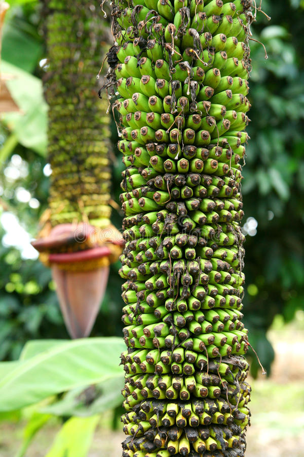 Unique banana