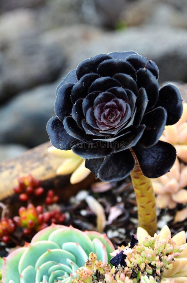 Unique Black Succulent royalty free stock photography