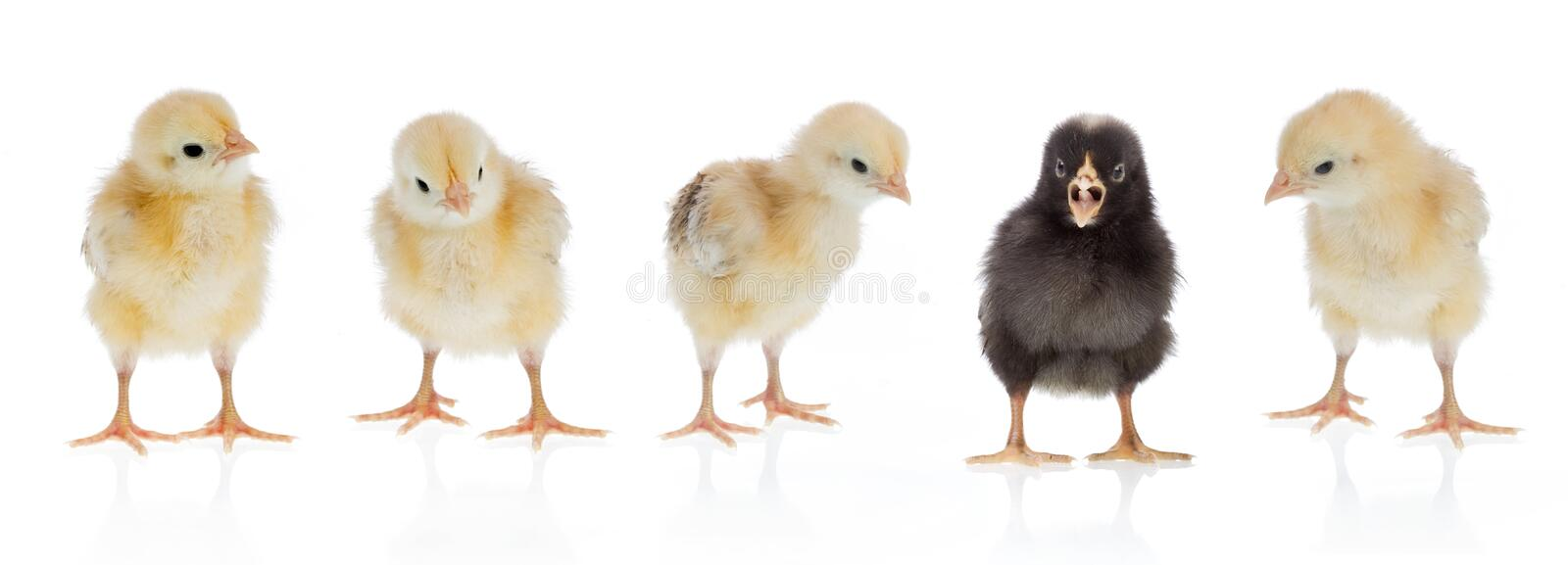 Unique chicken. Dare to be different, easter scene : black chicken amongst four yellow ones. Isolated on a white background
