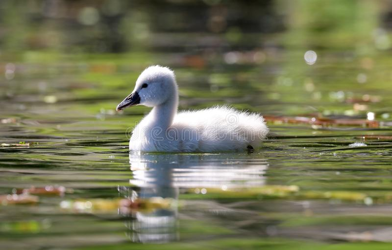 Unique cygnet baby swan in a lake, high definition photo of this wonderful avian in south america. Unique swan with baby cygnets in a lake, high definition stock images