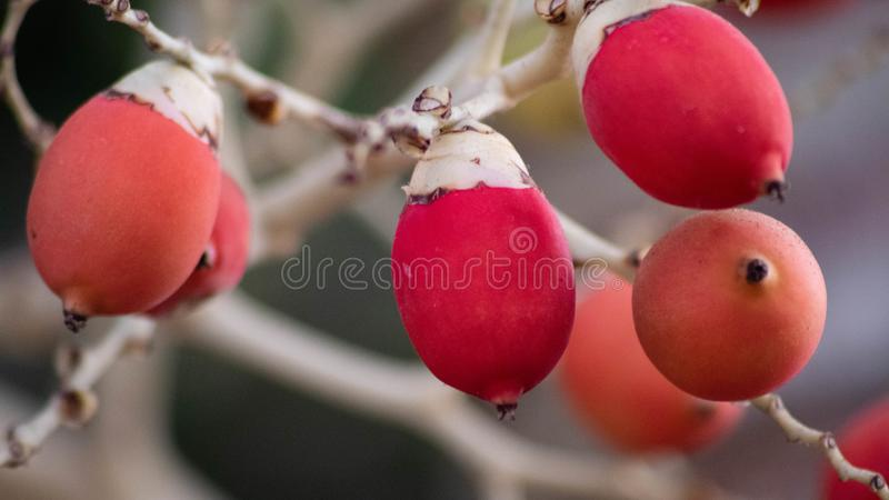 Unique fruit, palm fruit for easter idea concept design. Red and orange color royalty free stock image