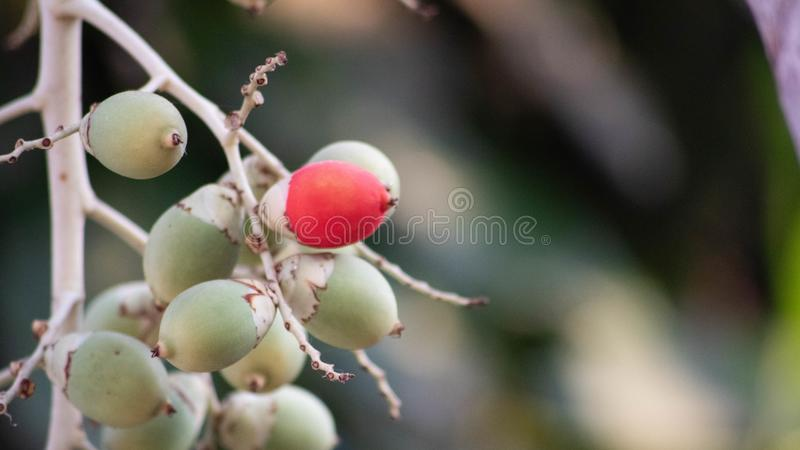 Unique fruit, palm fruit like egg, for easter idea concept design. Red and green color stock images