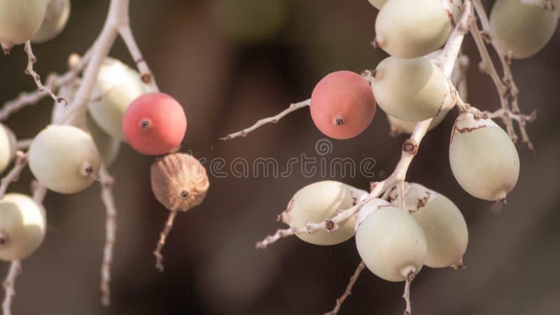 Unique fruit, palm fruit like egg, for easter idea concept design. Beautiful fruit stock photography
